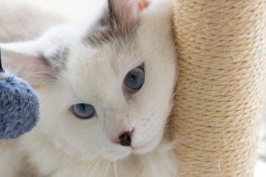 子猫はキャットタワーでいつから遊ぶの?時期と注意点を解説します