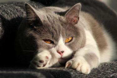 【失敗しない】猫の正しいダイエット方法を紹介します←自己判断は危険です