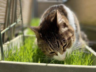 猫草はいつから与えていいの?与え方を間違えると危険な場合も・・・