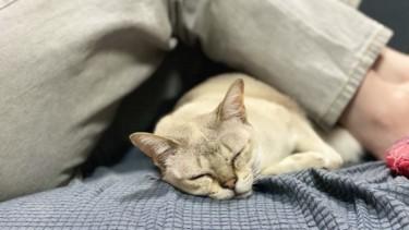猫が寝るときにくっついてくるのは信頼の証?寝る位置と信頼関係について考えてみた